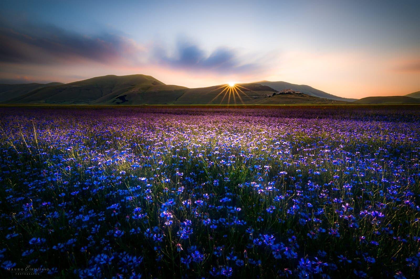 cornflowers field at sunset