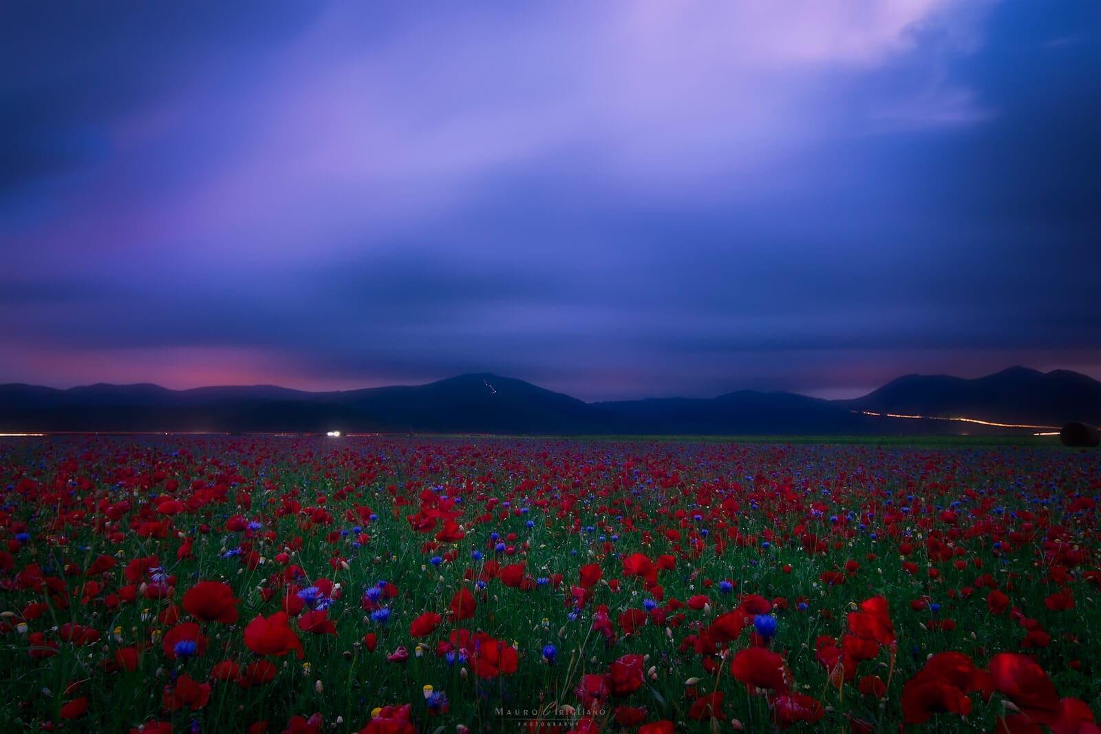 poppy field with cloudy sky